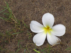 Flower by the side of the path near my bungalow.