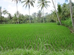 Rice Field!