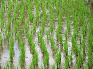 Close up of young rice growing in rice field.