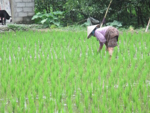 Woman farming in Rice Field.