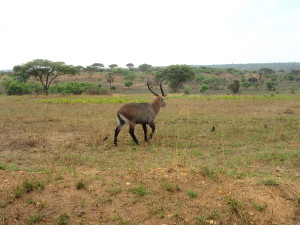 MP.14.Waterbuck2