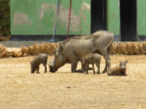 MP.15.WarthogsBabies