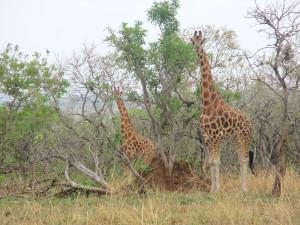 MP.18.Giraffe1
