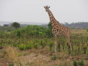 MP.19.Giraffe2