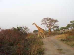 MP.20.Giraffe3