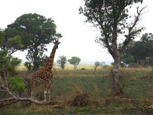 MP.21.Giraffe4