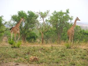 MP.22.Giraffe5