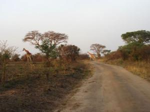 MP.23.Giraffe6
