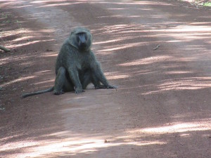 MP.37.Baboon2Closer