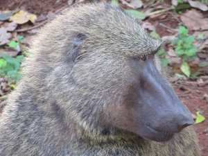 MP.38.Baboon3Closeup