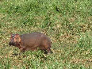MP.66.Hippo.ProfileInGrass
