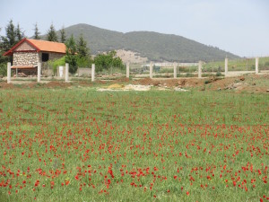Ifrane.01.FieldofRedFlowers