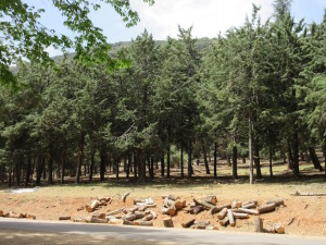 Ifrane.04.WoodedForest