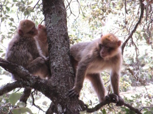 Ifrane.06.3Monkeys
